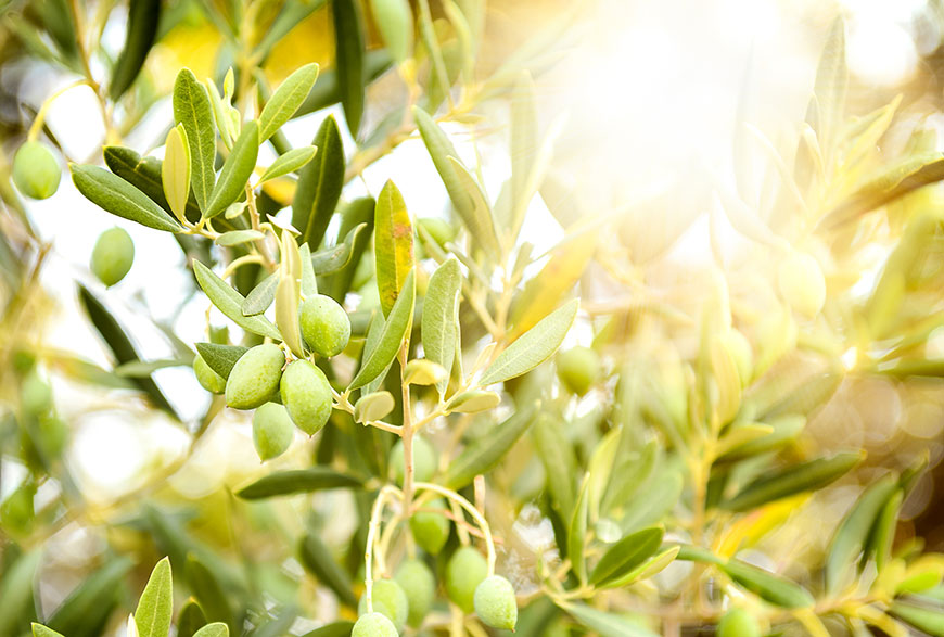olivera y olivas de la serra mariola